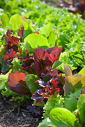 Lines of mixed coloured salad leaves. Lettuce 'Reine de Glaces', 'Romaine' and 'Mortons'