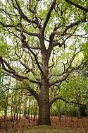 Europa, Niederlande, Zeeland, alte Eiche im Naturschutzgebiet de Manteling bei Oostkapelle auf Walcheren.<br /> <br /> Europe, Netherlands, Zeeland, old oak tree at the nature reserve de Manteling near Oostkapelle on the peninsula Walcheren.