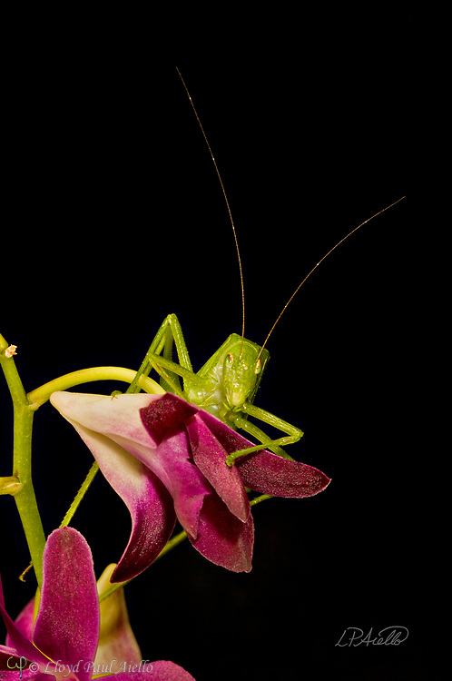 "This Fork-Tailed Bush Katydid (Scudderia furcate) is perched atop a Dendrobium orchid flower. Primarily nocturnal in habit, it has become expert at camouflage by mimicking the shape and colors of the leaves upon which it feeds.  Insects in this family (Tettigoniidae) are commonly called katydids or bush crickets and more than 6,400 species are known. The Fork-Tailed Bush Katydid, is native to the United States and widespread in the eastern and southeastern regions.  Adults are 14 - 75mm (0.55 - 2.95 inches) in length and have excellent eyesight.  Katydids have much longer antennae than grasshoppers, averaging 39mm (1.53 inches) and they only produce one generation annually since the eggs require a rest period.  The males have sound-producing organs located on the hind angles of their front wings. The males use this sound for courtship, which occurs late in the summer. The sound is produced by rubbing two parts of their bodies together, a process called stridulation. The males call 24-hours a day using 2-3 chirps followed by various periods of silence while waiting for a female to respond.  The insect gets its name from the sound of the male's call: ""Katy-did"". The tempo of the calls is governed by ambient temperature.  For American katydids, the number of chirps in 15 seconds plus 37 will be close to the outside temperature in degrees Fahrenheit."