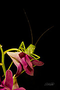This Fork-Tailed Bush Katydid (Scudderia furcate) is perched atop a Dendrobium orchid flower. Primarily nocturnal in habit, it has become expert at camouflage by mimicking the shape and colors of the leaves upon which it feeds.  <br /> <br /> Insects in this family (Tettigoniidae) are commonly called katydids or bush crickets and more than 6,400 species are known. The Fork-Tailed Bush Katydid, is native to the United States and widespread in the eastern and southeastern regions.  Adults are 14 - 75mm (0.55 - 2.95 inches) in length and have excellent eyesight.  <br /> <br /> Katydids have much longer antennae than grasshoppers, averaging 39mm (1.53 inches) and they only produce one generation annually since the eggs require a rest period.  <br /> <br /> The males have sound-producing organs located on the hind angles of their front wings. The males use this sound for courtship, which occurs late in the summer. The sound is produced by rubbing two parts of their bodies together, a process called stridulation. The males call 24-hours a day using 2-3 chirps followed by various periods of silence while waiting for a female to respond.  The insect gets its name from the sound of the male&rsquo;s call: &ldquo;Katy-did&rdquo;. <br /> <br /> The tempo of the calls is governed by ambient temperature.  For American katydids, the number of chirps in 15 seconds plus 37 will be close to the outside temperature in degrees Fahrenheit.