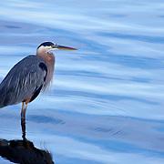 Great blue heron at dawn. Puget Sound, Washington.