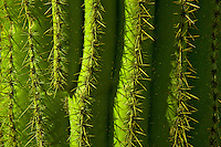 Saguaro Cactus (Carnegiea gigantea) closeup of spines, Organ Pipe Cactus National Monument, Arizona, USA