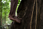 A Maniq man climbs a tree.<br /> <br /> Evidence suggests that the Maniq, a Negrito tribe of hunters and gatherers, have inhabited the Malay Peninsula for around 25,000 years. Today a population of approximately 350 maniq remain, marooned on a forest covered mountain range in Southern Thailand. Whilst some have left their traditional life forming small villages, the majority still live the way they have for millennia, moving around the forest following food sources. <br /> <br /> Quiet and reclusive they are little known even in Thailand itself but due to rapid deforestation they are finding it harder to survive on the forest alone and are slowly being forced to move to its peripheries closer to Thai communities.
