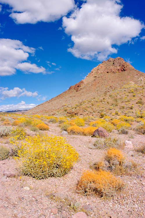 Toothed Dodder (Cuscuta denticulata) and Brittlebush (Encelia farinosa) in the Black Mountains, Death Valley National Park, California