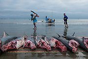 Sharks on Beach<br /> Tarqui<br /> Manta<br /> Manabi Province<br /> Ecuador<br /> South America