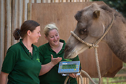 © licensed to London News Pictures. London, UK 21/08/2013. Bactrian camels being weighed at ZSL London Zoo's annual weigh-in on Wednesday, 21 August, 2013. Photo credit: Tolga Akmen/LNP