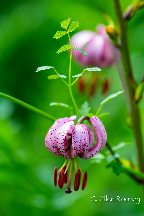 Lilium martagon (Turk's Cap) at Stockton Bury Gardens, Kimbolton, Leominster, Herefordshire, UK