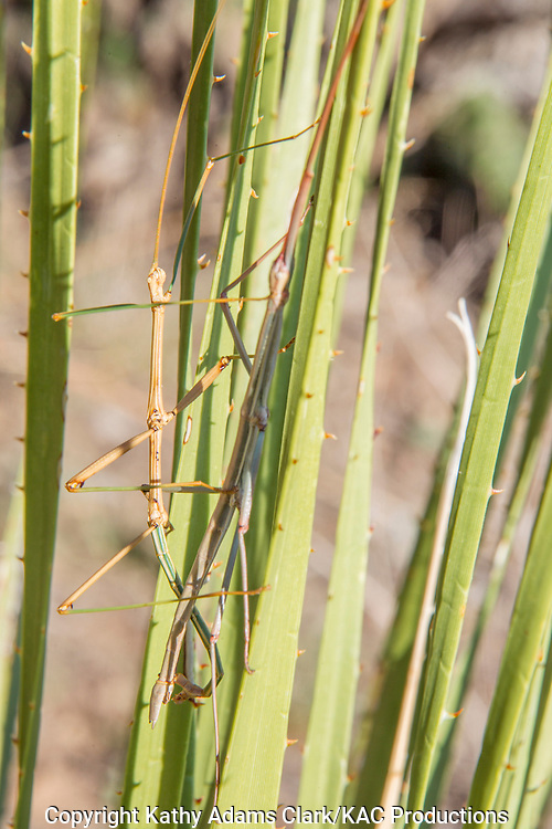 Walking stick; Stick insect; stick-bug; order Phasmatodea; camouflaged, mating on desert plant in Big Bend National Park; Chihuahuan Desert; Texas in summer.