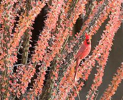 Cardinal in an Ocotilla, Cave Creek,AZ Local Arizona birds.