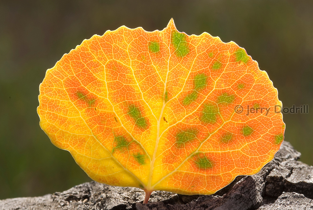 Aspen leaf in the White River National Forest, Rocky Mountains, near Telluride, Colorado