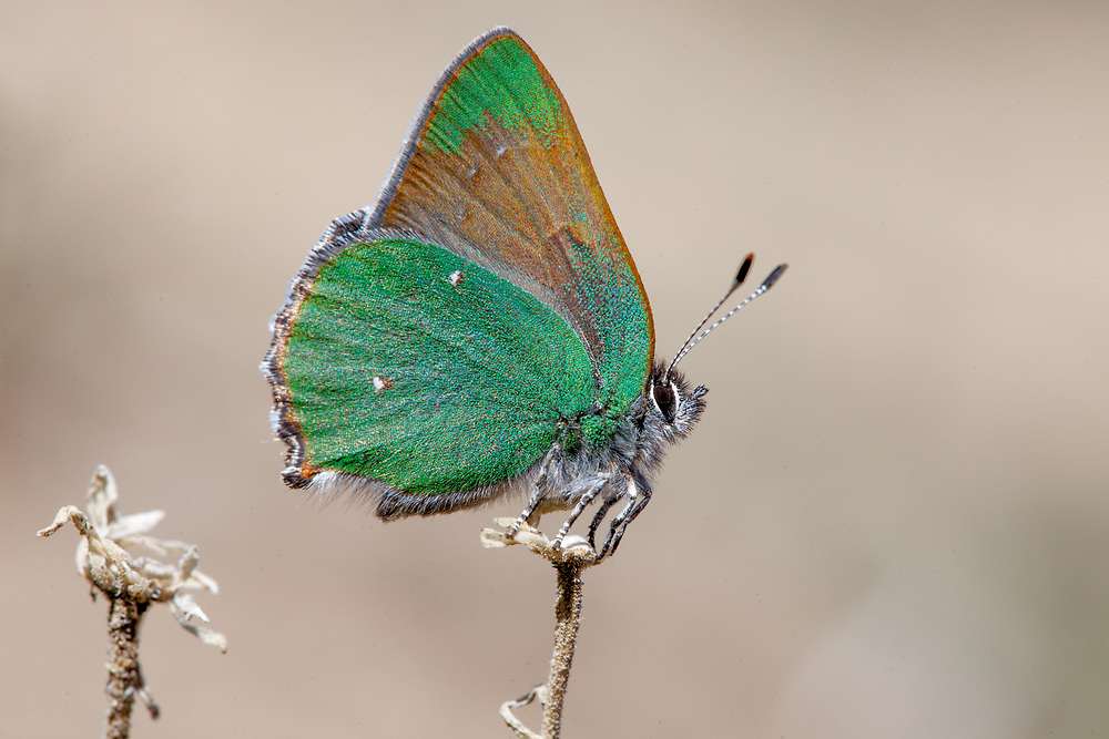 Callophrys d. dumetorum (Lotus Hairstreak) at Bob's Gap, Los Angeles Co, CA, USA, on 07-Mar-15