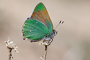Callophrys d. dumetorum - Lotus Hairstreak