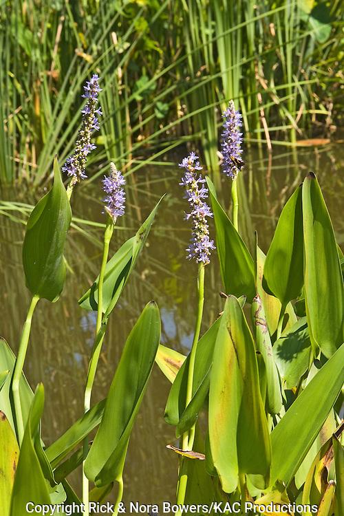 Pickerelweed.Pontederia cordata .Dallas Botanical Garden, Texas, United States.18 September      Flower      Pontederiaceae