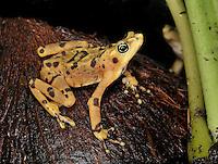 Atelopus zeteki - Panamanian Golden Frog