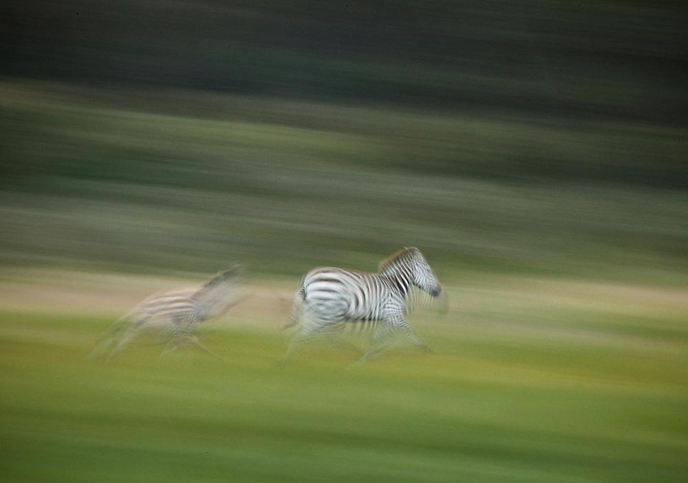 Zebras running at Olodien Bay, Lake Naivasha