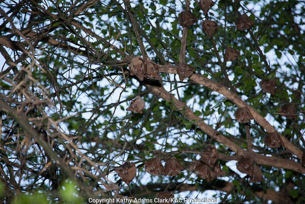 Wahlberg's epauletted fruit bat, Epomophorus wahlbergi, roosting in a tree during the day, Serengeti, Tanzania, Africa.