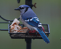 Blue Jay at the bird feeder. Image taken with a Nikon D5 camera and 600 mm f/4 VR lens (ISO 1600, 600 mm, f/5.6, 1/50 sec).