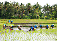 Rice planters working in the paddy fields with majestic palms forming a backdrop.