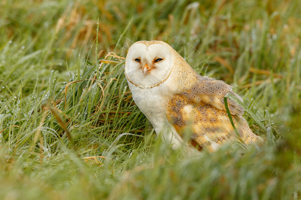 Barn Owl (Tyto Alba) adult on ground in long grass after feeding, Norfolk, UK.