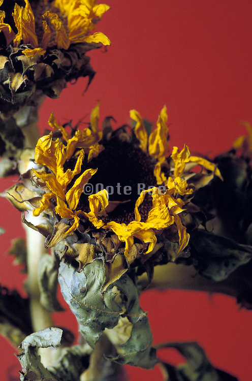 Arrangement of dried sunflowers