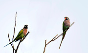 Red-breasted parakeets (Psittacula alexandri). Male (right) and female from Kaziranga NP, Assam, India.
