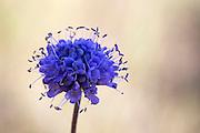 Blåknapp, flerårig urt i kaprifolfamilien. Utbredd i Europa, Asia, og Nord-Afrika. Stengelen  omkring 40 cm høy, bar og blank nederst. Planten har tykke blanke blad. Disse er som oftest bare og har halvkuleformet korg, som er omtrent 2 cm bred. Blåknapp har blå eller blåfiolett krone med lang kronrør. Griffelen og melknappene til planten stikker ut. Blomstrer helst i august, på fuktige steder, på beite- og lyngmark. Blåknapp er vanlig langs kysten i sør, men vokser i nord til Vesterålen. Det er færre forekomster  inne i landet. Fuktige (kultur)marker som (beita) skog, beite- og slåttemark, lynghei og myr. Lite kalkkrevende i lavlandet, noe mer krevende i fjellet. Går tilbake 10–15 år etter opphør i drift. Trives best ved sein slått, samt ved beiting og ingen eller svært svak gjødsling. Utbredelse i Midt-Norge I kyst-, fjord- og dalstrøk i regionen (østover til Røros). Dialektnavn Blåkall (Beistad), blådopp (Leka), blåmann (også om rødknapp), præsthau (Malm) og hommelblomster (Geitastrand). (Wikip./Artsdatabanken)