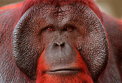 An Orangutan in captivity. A large mainly solitary arboreal ape with long reddish hair long arms and hooked hands and feet native to Borneo and Sumatra The mature male develops fleshy cheek pads and a throat pouch. (Photo © Jock Fistick)