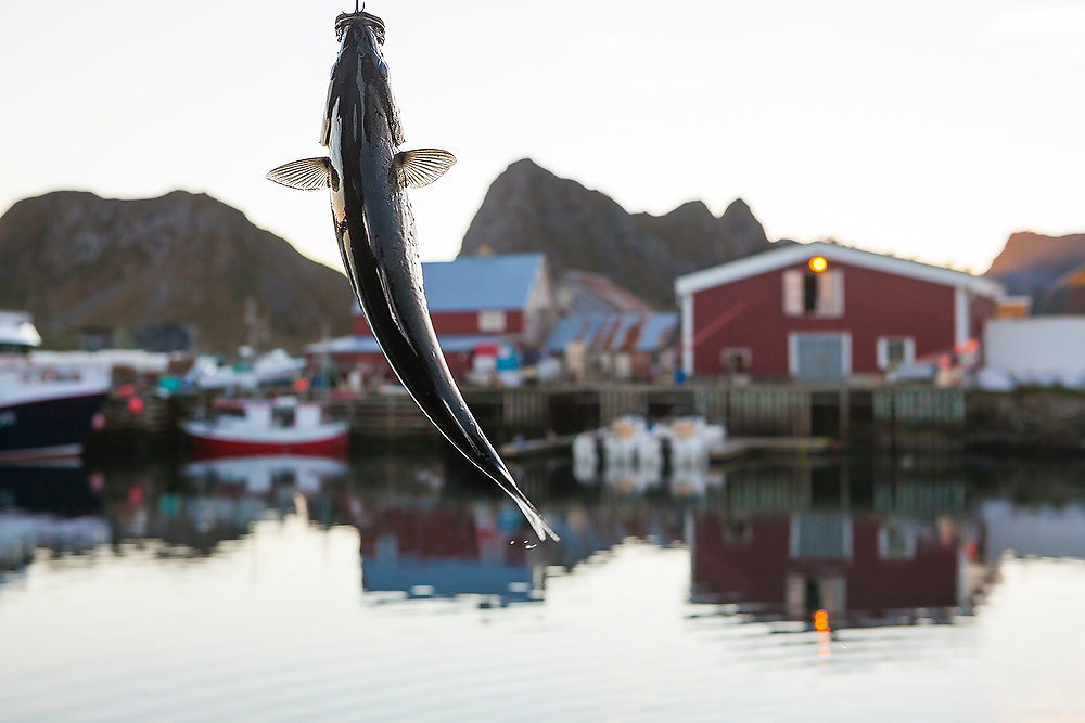 A fish is hooked by an off-duty fish factory employee at the commercial fishing port in Sorland, Vaeroy Island, Lofoten Islands, Norway.