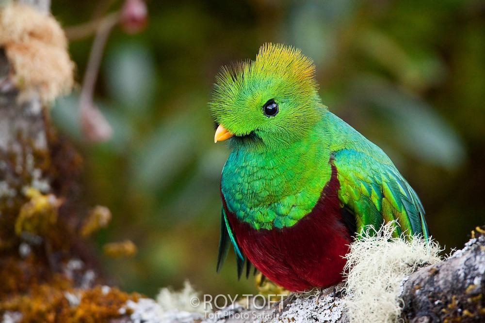 Resplendent quetzal (Pharomachrus mocinno) perched on a tree branch, San Gerado de Dota, Costa Rica