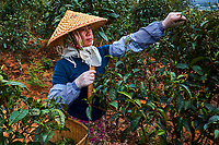 Chine, Province du Yunnan, region de Xishuangbanna, arbre à thé, ceuillette du thé // China, Yunnan, Xishuangbanna district, tea tree, tea Picker picking tea leaves