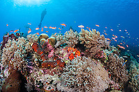 Diver, Anthias, and Soft Corals<br /> <br /> Shot in Indonesia