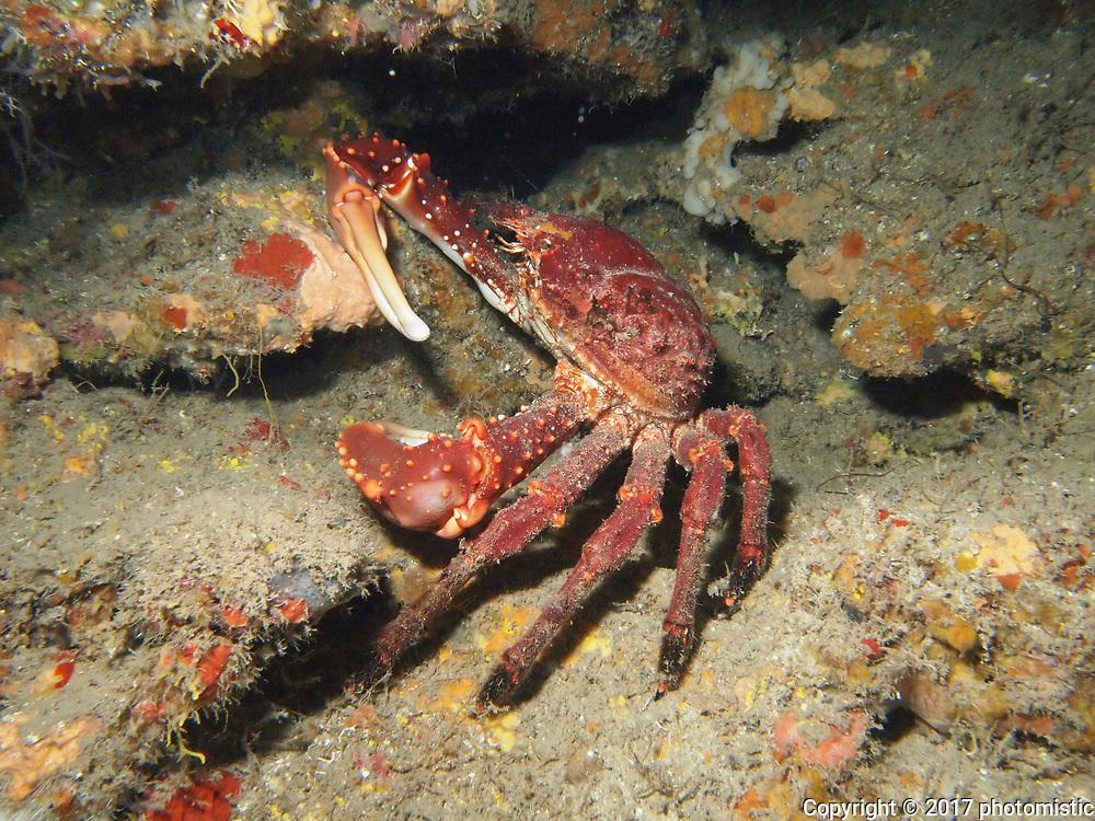 gigantic crab