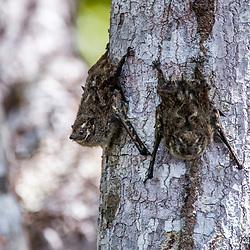 """""""Morcego-narigudo (Rhynchonycteris naso) fotografado em Linhares, Espírito Santo -  Sudeste do Brasil. Bioma Mata Atlântica. Registro feito em 2015.<br /> <br /> <br /> <br /> ENGLISH: bat photographed in Linhares, Espírito Santo - Southeast of Brazil. Atlantic Forest Biome. Picture made in 2015."""""""