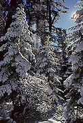 Forest, Winter, Snow, Sequoia and Kings Canyon National Parks, California