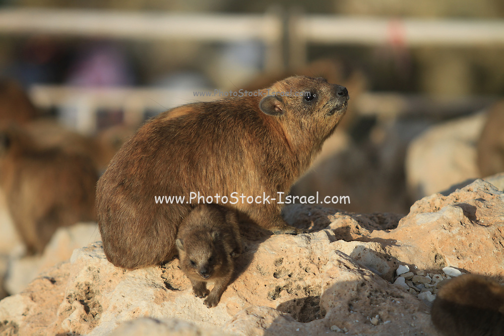 Rock Hyrax, (Procavia capensis) Photographed in Israel, Rosh Hanikra