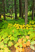 USA, Alaska, fall's Devil's club add vibrant  colors to the rainforests of the Chugach Mountains in Chugach State Park.