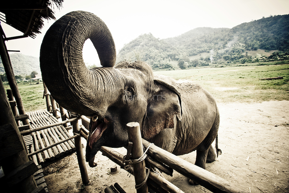 Elephant awaits fruit with an open mouth at the Elephant Nature Park in Chiang Mai, Thailand.  This park rehabilitates elephants that have been used and abused by Thais at tourist locations in Bangkok.  Some are blind, and some are even addicted to Methamphetamines.