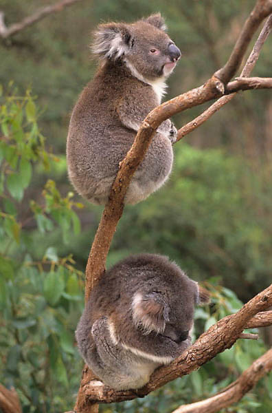 Koala, (Phascolarctos cinereus) Pair. Australia.