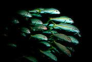 UNDERWATER MARINE LIFE CARIBBEAN, Bonaire FISH; Yellow Goatfish; Mulloidichthys martinicus