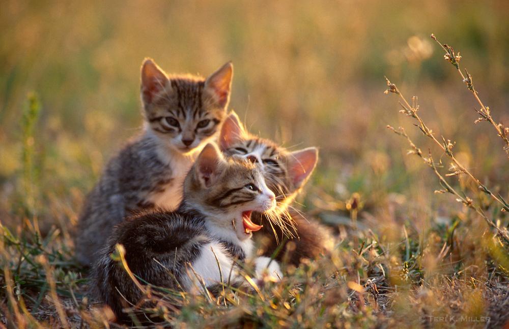 Kittens on a Tuscan farm, San Gimignano, Italy.