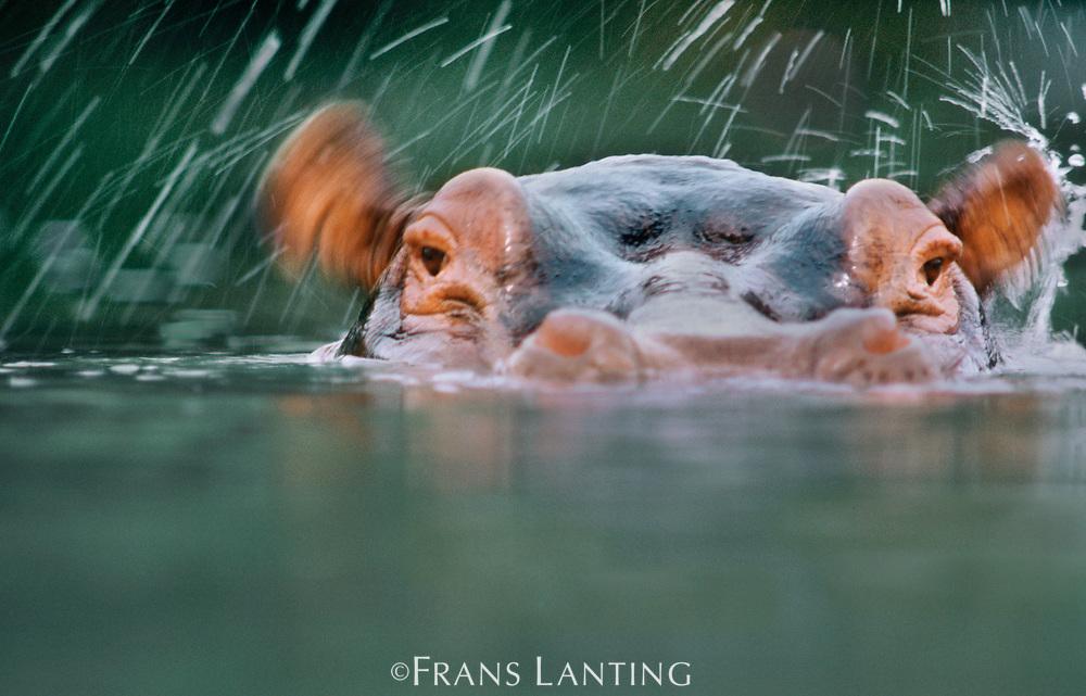 Hippo wiggling ears, Garamba National Park, Congo (DRC)