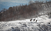 A trio of moose stand near on a snowy peak overlooking Salt Lake City, Wednesday, Dec. 19, 2012