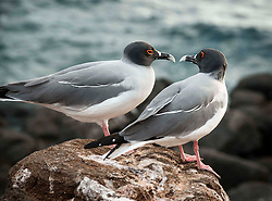 A pair of beautiful Swallow Tailed Gulls in the Galapagos.