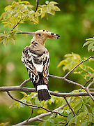 Hoopoe, (Upupa epops) perched on a branch May 2009.