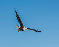 Bald eagle in flight against clear blue sky, © 2005 David A. Ponton