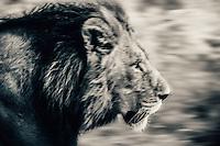 Male lion, motion blur, Moremi Game Reserve, Botswana