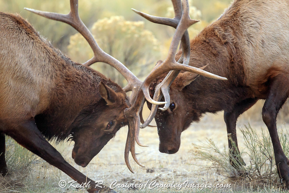 Rocky Mountain Elk in Habitat Two Bull Elk Battle for Dominance and Breeding Rights