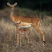 Impala, (Aepyceros melampus) Mother with baby. Serengeti Plains. Masai Mara Game Reserve. Kenya. Africa