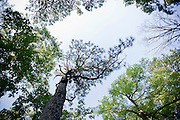 The world's oldest long leaf pine in Southern Pines, NC.
