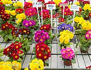 Display of bright polyanthus plants Ladybird Nurseries garden centre, Gromford, Suffolk, England, UK - Polyanthus Supernova